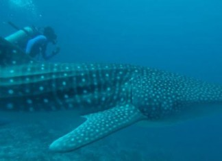Diving with whale sharks in Maldives