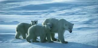 Polar bear viewing in Manitoba