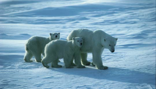 Polar Bear and her cubs near Churchill, Manitoba