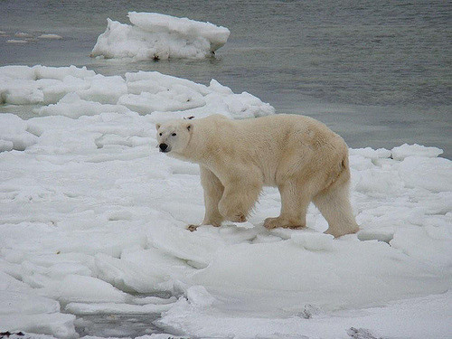 Polar bears in Greeland