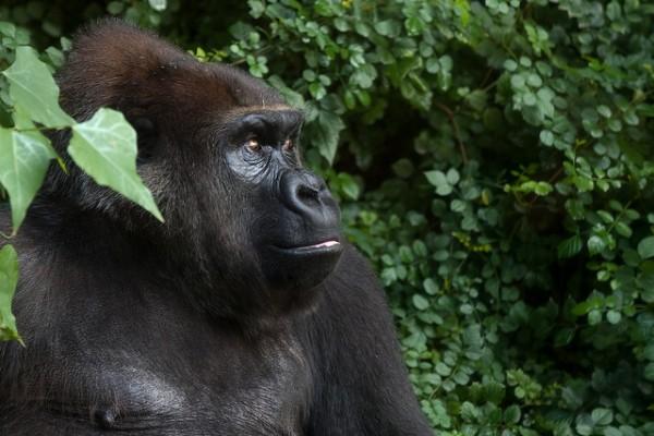 gorilla trekking impenetrable forest bwindi uganda