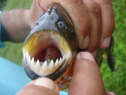 swimming with piranhas