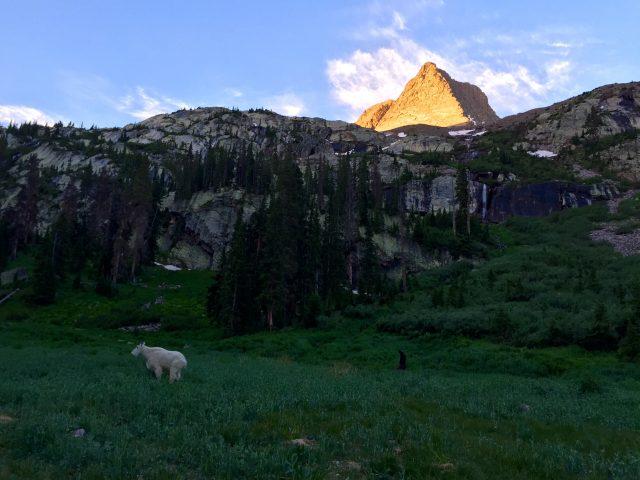 Vestal peak mountain goat